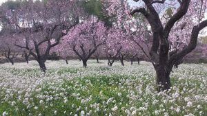 AlmondBlossom.jpg