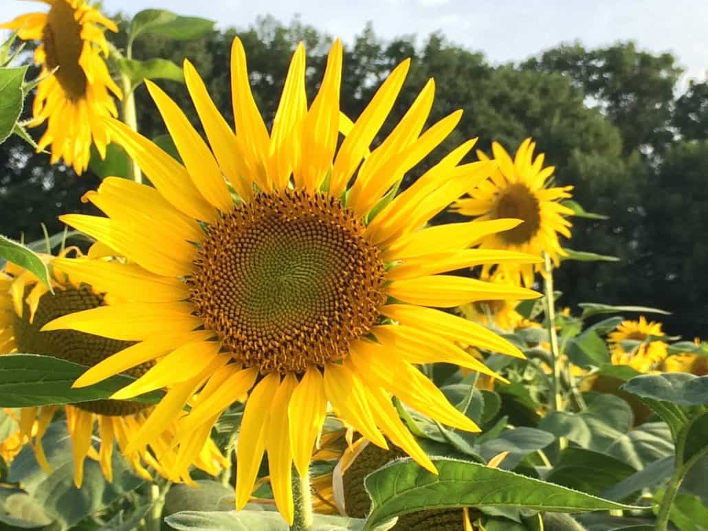 Sunflowers -1030x773.jpg
